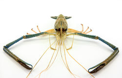 Large shrimp Royalty Free Stock Photography