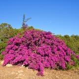Large shrub of colorful bougainvillea Royalty Free Stock Image