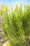 Large shrub of rosemary in  garden Royalty Free Stock Photo