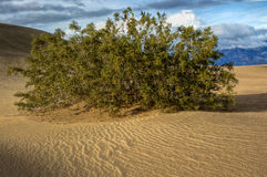 Large Shrub Tree in Desert Sand Dune. A shrub survives in the harsh landscape of a desert sand dune in Death Valley National Park, California Stock Photography