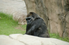 Large silver back ape Royalty Free Stock Photography
