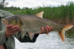Free Large Silver Carp Fisherman In His Hand Royalty Free Stock Photo - 84425055