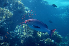 Large silver fish in egypt Royalty Free Stock Photos