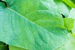 Large Single Green Leaf with Visible Large Veins Royalty Free Stock Photography