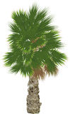 Large single green palm tree on white Royalty Free Stock Photo