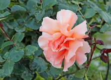 Large single pink rose Stock Photos
