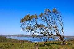 Large single tree. Large tree in a grassland by the sea Stock Photo