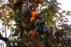 Persimmon tree, lots of fruits. Large size photo of a persimmon tree somewhere in the garden: bright green foliage, lots of orange ripening fruits with stock photography
