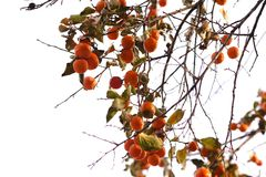 Persimmon tree at white background. Large size photo of a persimmon tree somewhere in the garden: diagonal view, lots of deep orange ripening fruits with royalty free stock image