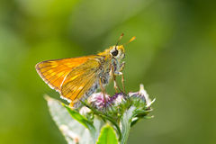 Large Skiper (Ochlodes Sylvanus) Butterfly Stock Photo