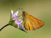 Large skipper Stock Photography