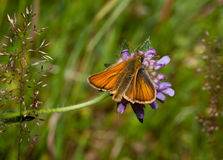 Large Skipper Stock Photos