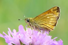 Large skipper Royalty Free Stock Photo