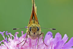 Large skipper Stock Image