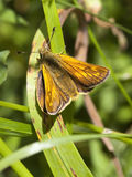 Large skipper butterfly royalty free stock images