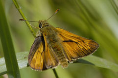 Large Skipper butterfly Stock Photo