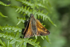 Large skipper butterfly Royalty Free Stock Image
