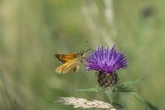 Large skipper butterfly. Ochlodes venata Stock Photo