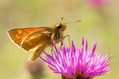 A Large Skipper butterfly feeding on a thistle. royalty free stock images