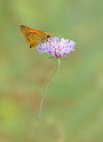 Large skipper butterfly stock images