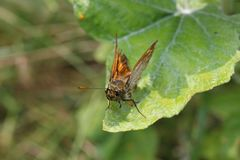 Large skipper butterfly on a leaf stock photo