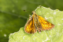 Large skipper butterfly from Lower Saxony, Germany, Europe Royalty Free Stock Photography