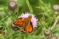 A Large Skipper Butterfly,Ochlodes sylvanus, perched on a thistle flower with its wings open nectaring. A Large Skipper Butterfly Ochlodes sylvanus perched on a Royalty Free Stock Images