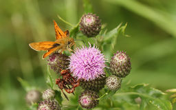 A Large Skipper Butterfly,Ochlodes sylvanus, perched on a thistle flower with its wings open nectaring. Stock Photo