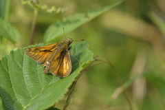 Large skipper Royalty Free Stock Images