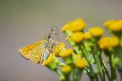 Large skipper Ochlodes sylvanus butterfly pollinating Royalty Free Stock Photos