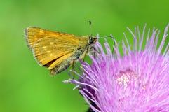 Large skipper Ochlodes sylvanus butterfly. On thistle Stock Images