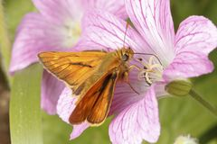 Large Skipper butterfly Ochlodes sylvanus stock images