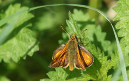 A Large Skipper Ochlodes sylvanus perched on a plant. A pretty Large Skipper Ochlodes sylvanus perched on a plant Royalty Free Stock Photography