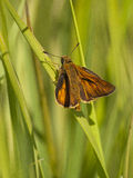 Large Skipper Royalty Free Stock Image