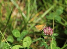 Large Skipper Royalty Free Stock Photography
