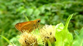 The large skipper on a thistle flower. In Germany stock video footage