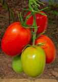 Large  sky striker-tomato . Royalty Free Stock Photography