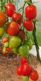 Large  sky striker-tomato . Stock Photos