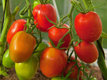 Large sky striker-tomato. Large red sky striker- tomato in greenhouse growing royalty free stock photography