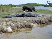 Large slipping alligator and two wild hogs eating grass Royalty Free Stock Photo