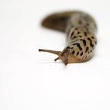 Large Slug: gastropod mollusk. Large wild slug (gastropod mollusk) against a white background royalty free stock photo