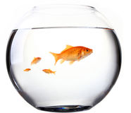 Large and small goldfish in tank Royalty Free Stock Photography