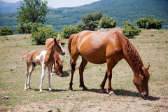 Large and small horses grazing in field Stock Photos