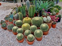 Large and small needle cacti close-up stock photos