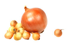Large and small onion Stock Images
