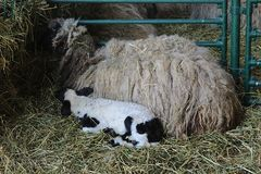 Large and small sheep on hay. Mom and baby sheep together Royalty Free Stock Image