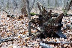 A large snag in the depths of the forest stock images