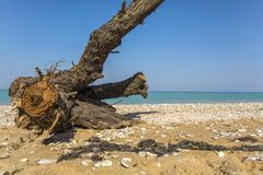 Large snag lies on the beach on sea dackground. Royalty Free Stock Photo