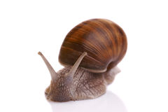 Large snail Royalty Free Stock Images