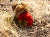A large snail amongst the dandelion eats strawberries. Side view Stock Photo